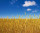 wheat-before-harvest-yields-field